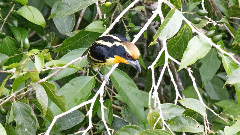 Another species seen from a canopy tower: Gilded Barbet. Photo by participant Lisa Spellman.