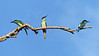 Blue-throated Bee-eaters by participant David Smith.