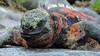 Marine Iguana on Espanola gal16b Willy Perez