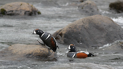 Harlequin Duck was second only to Atlantic Puffin in the voting for favorite bird of the Iceland tour--and with stunning drakes, no wonder! (Photo by guide Eric Hynes)