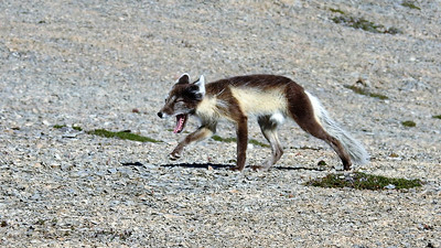 A strikingly patterned Arctic Fox gives a yawn as it passes close to our group. Photo by participant Michael Martin.