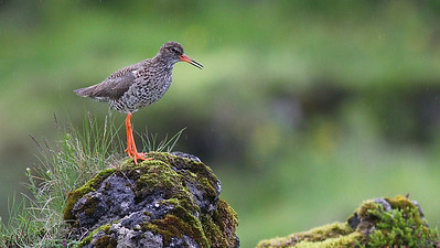 A lovely setting for a portrait of Common Redshank, photographed by guide Eric Hynes.