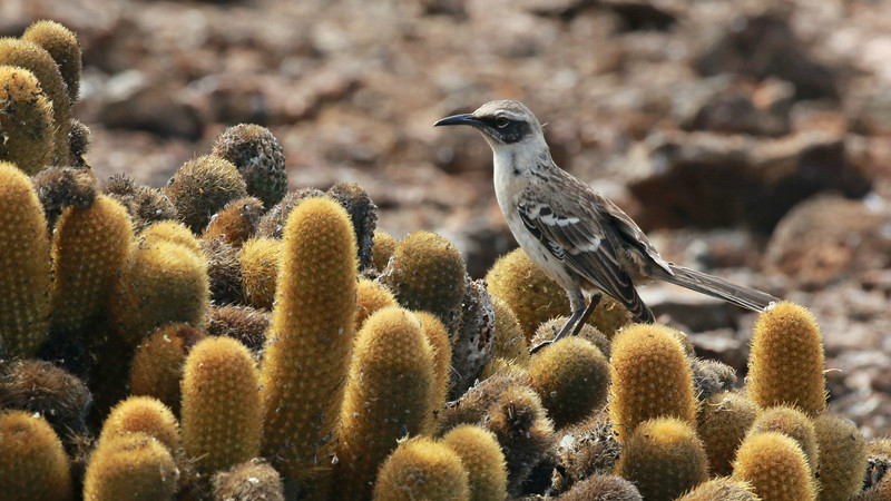 One of the numerous Galapagos endemics, the eponymous mockingbird. Photo by participant Randy Beaton.