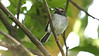 This delightful little Black-throated Tody-Tyrant was at Owlet Lodge. Photo by guide Jesse Fagan.