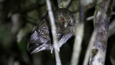 Among these are the fantastic Long-whiskered Owlet, which we saw so well this trip...