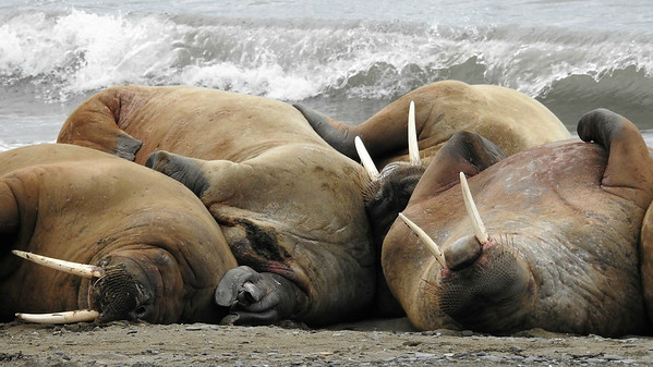 Another mammalian highlight of this tour is seeing Walrus, with groups often loafing on a beach. Photo by participant Michael Martin.
