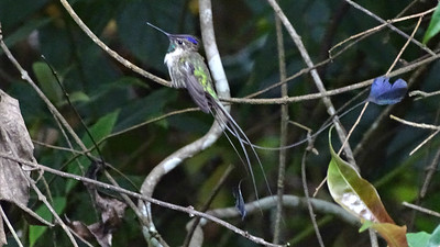 ...and the magnificently adorned Marvelous Spatuletail, whose tail wires and tips are hard to photograph against this background! Photo by guide Dan Lane.
