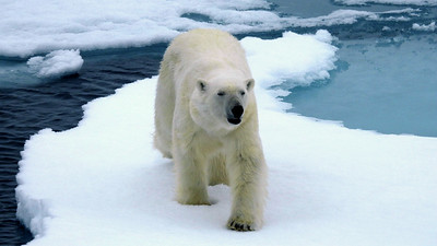One of the high-latitude rewards is Polar Bear, and this magnificent creature came very close to our ship. Photo by participant Michael Martin.
