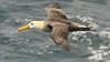 A highlight of any Galapagos visit is seeing the magnificent Waved Albatrosses, in flight and on their nesting island of Espanola. Photo by participant Sid England.
