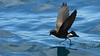 One of the delights of a Galapagos cruise on a small boat like ours is the chance to see seabirds such as this Elliott's Storm-Petrel at close range as we move between islands. Photo by participant Sid England.