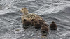 At the time of our visit, female Common Eiders with ducklings were a regular sight. Photo by guide Eric Hynes.