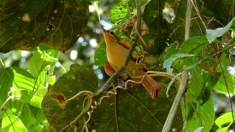 A cool angle on a Buff-fronted Foliage-gleaner, photographed by participant Max Rodel.
