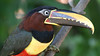 Chestnut-eared Aracari jag16 Rick Thompson