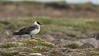 We encountered numerous Parasitic Jaegers during our Iceland travels. Photo by guide Eric Hynes.