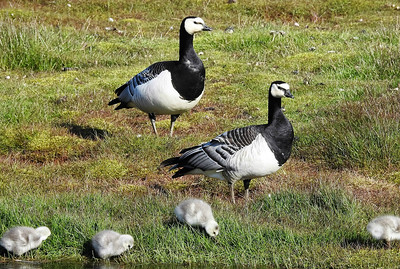 A Barnacle Goose pair with just-hatched goslings. Photo by participant Michael Martin.