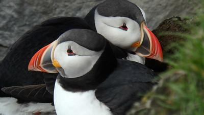 Our group voted Atlantic Puffin the bird of the tour, and we had fantastic views! Photo by participant Roger Hux.