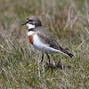 The lovely Banded Dotterel is found only in New Zealand and on the Chatham Islands and the Auckland Islands. (Photo by guide Chris Benesh)