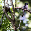 Who wins the longest tail contest: Ring-tailed Lemur or Madagascar Paradise-Flycatcher? Hmmm... (Photo by guide Jesse Fagan)