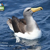 Gracing the cover of this month's gallery is a Chatham Albatross. Guide Chris Benesh captured this striking image during our New Zealand tour's pre-tour pelagic in Hauraki Gulf. The regal mollymawk was an unexpected but welcomed surprise.