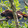 The endangered, endemic Yellow-tailed Woolly Monkey is a seldom-seen prize of the cloud forests of Northern Peru.  The underside of the end of the tail is yellowish; far more eye-catching is the yellow genital tuft of hair!  This one is sunning, enjoying a fleeting luxury in a cloud forest environment. (Photo by guide Richard Webster)