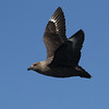 Chris photographed this Brown Skua during a close fly-by off Stewart Island.