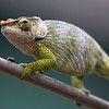 Chameleons rank among the more distinctive and bizarre families of lizards thanks to a ballistically projecting tongue, eyes that move independent of each other, zygodactyl feet (the middle two toes facing forward, the outer two back -- good for clasping!), and skin that changes color. Guide Jesse Fagan captured this fantastic image.