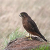 The New Zealand Falcon is the only native falcon found in New Zealand. In fact, the only other native diurnal raptor is the Swamp Harrier. (Photo by guide Chris Benesh)