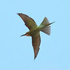 Participant Elizabeth Fulmer was quick with her camera to get this perfect flight shot of an acrobatic Madagascar Bee-eater.