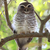 Berenty at the southern end of Madagascar is where we typically spot a White-browed Owl on its day roost. (Photo by participant Elizabeth Fulmer)