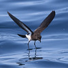 """Check out the surface tension around the feet of this New Zealand Storm-Petrel as its webbed toes """"stand"""" on the water. (Photo by guide Chris Benesh)"""