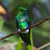 """Guide and photographer Richard Webster is known to say: """"You can never have too many pictures of Emerald-bellied Puffleg.""""  We agree whole-heartedly."""