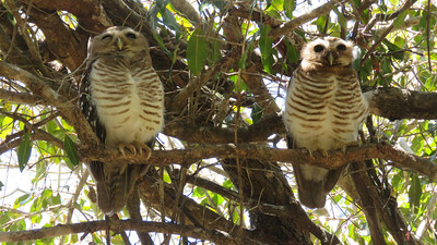 White-browed Owl is one of many endemic species on Madagascar. Photo by guide Phil Gregory.
