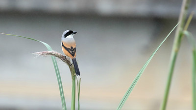 This handsome little hunter is a Long-tailed Shrike. Photo by participant Stan Lilley.