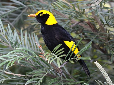 "The eye-popping plumage of a Regent Bowerbird reliably ends up inspiring many ""oohs"" and ""aahs."" Photo by participant Matthias von den Steinen."