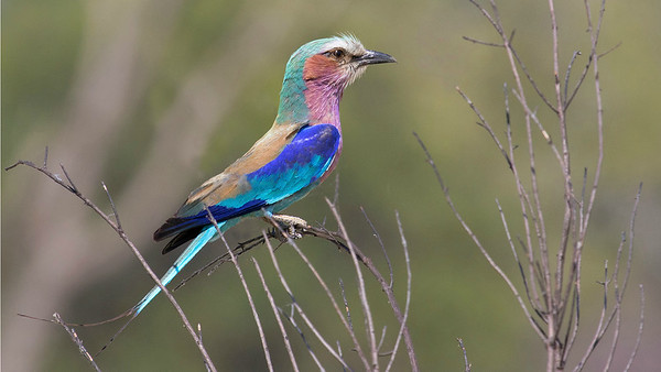 A myriad of pastels come to life on a Lilac-breasted Roller. Photo by guide Joe Grosel.