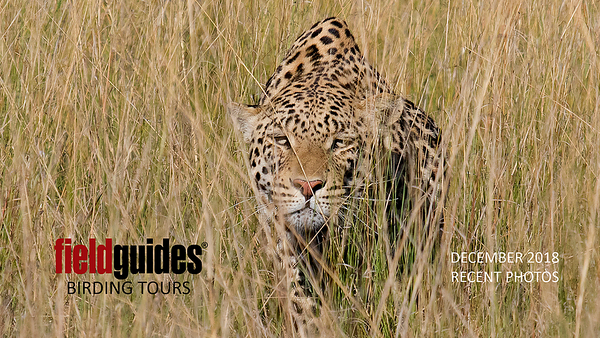 We know it's not a bird—but this spine-tingling image of a stalking Leopard by guide Joe Grosel on our recent Namibia & Botswana trip really caught our eye to kick off the gallery. The following images will also include these recent Field Guides tours: Madagascar, Vietnam, New Guinea & Australia, Colombia: Cali Escape, a private Ecuador: Rainforest & Andes, Southeast Brazil, Serra dos Tucanos (Brazil), New Zealand, Colombia: Llanos & More, Chile, Slice of California, Jamaica, plus a revisit to Northwestern Argentina. Lots to see!