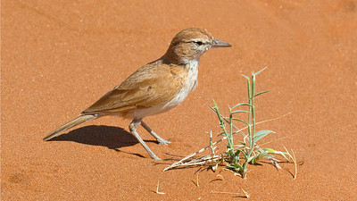 Evolution is amazing. The dorsal plumage of this Dune Lark really helps it blend into the substrate, reducing its detection by potential predators. Photo by guide Joe Grosel.