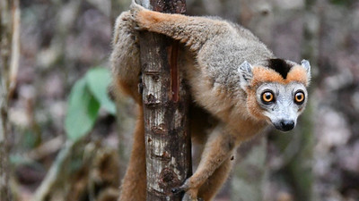 An inquisitive Crowned Lemur seemed as captivated with us as we were with it. Photo by participant Linda Nuttall.