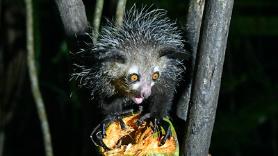 Let's head due east and off the continent for images from Madagascar. The Aye-aye, a lemur, might be the most bizarre among Madagascar's many unusual creatures. Photo by participant Linda Nuttall.