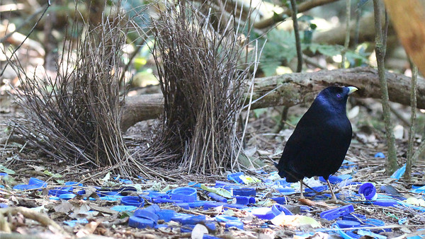 Let's move on to our New Guinea & Australia tour. Kicking off this set is a male Satin Bowerbird attending his bower. He seems to think the proliferation of blue plastic waste could work in his favor. Photo by participant Matthias von den Steinen.