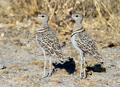 Double vision?... No, just two Double-banded Coursers synchronized in every way. Photo by guide Joe Grosel.