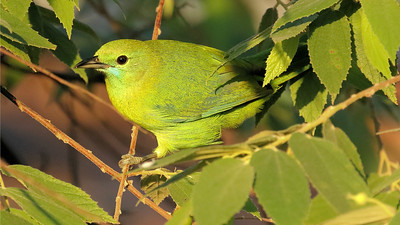 Few species are as evolved to blend into foliage as a Blue-winged Leafbird. Photo by participant Stan Lilley.