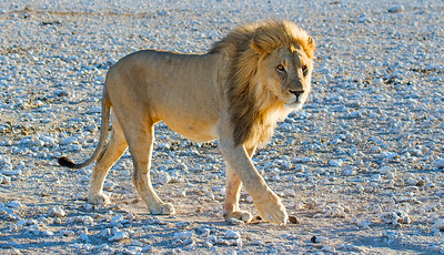 The King of Beasts. Photo by guide Joe Grosel.