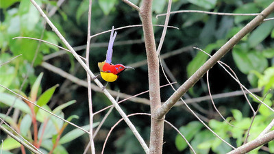 "A burst of color reveals a Gould's Sunbird of the ""Purple-rumped"" subspecies. Photo by participant Stan Lilley."