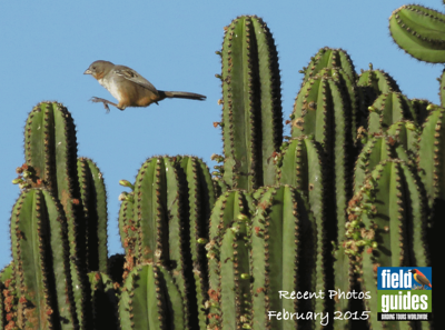 A little whimsy from our Oaxaca tour in southern Mexico to begin this month's gallery of recent photos from Field Guides tours! We got a kick out of this cool action photo of a White-throated Towhee by participant Jan Shaw. It's a close relative of Canyon Towhee and a south-Mexican endemic with a restricted range.