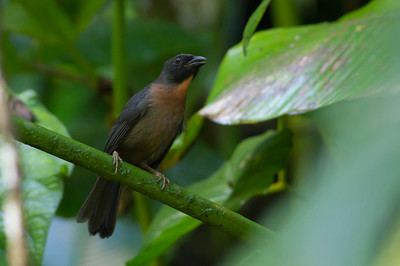 This one's a true Costa Rica endemic, and found only in a limited area of the southwest: Black-cheeked Ant-Tanager. (Photo by guide Tom Johnson)