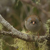 This Volcano Junco gave us a serious looking-over. (Photo by guide Tom Johnson)
