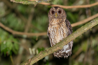 Did we get a great look at a Mottled Owl on this tour? Oh yeah! (Photo by guide Tom Johnson)