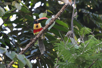 As is true of many birds endemic to Costa Rica and adjacent Panama, Fiery-billed Aracari is found only on one side of the mountainous backbone of Costa Rica, in this case the Pacific slope. (Photo by participant Bob Polkinghorn)