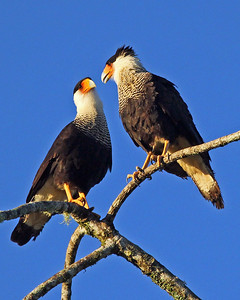 We'll get back to Oaxaca a little later, but first let's take a jaunt on the first part of our Costa Rica: Birding the Edges tour in early January, beginning with these Crested Caracaras by participant Bob Polkinghorn.